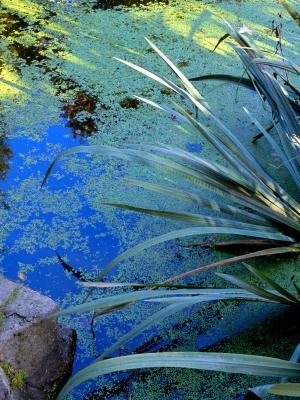 Tiny aquatic plants home guides sf gate for Koi zone pond aquatics