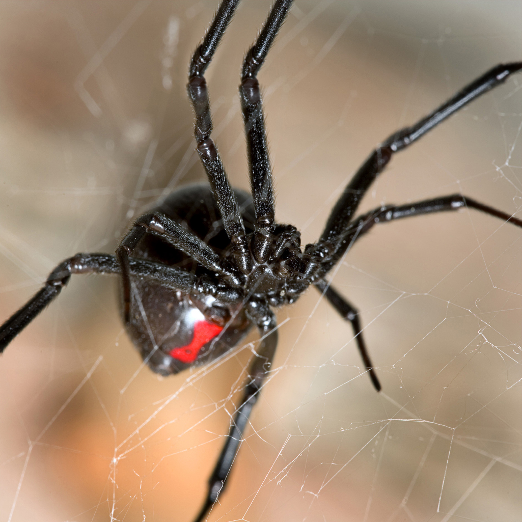 How To Tell The Difference Between Poisonous And Non Poisonous Spiders