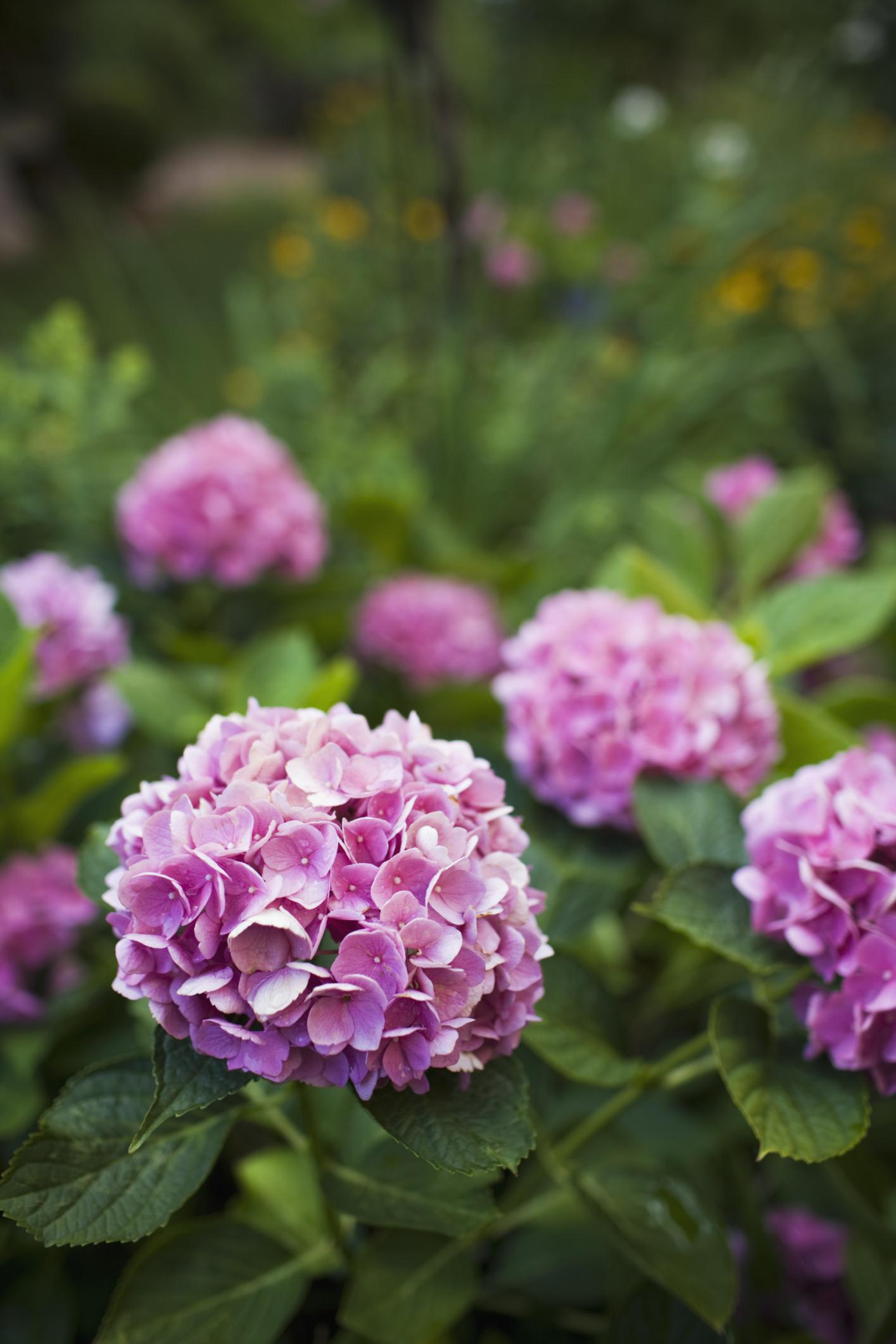 son las hortensias plantas de pleno sol ehow en espaol