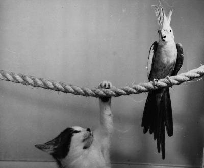 Taming A Cockatiel 24