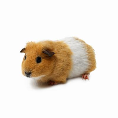 What Does It Mean When A Guinea Pig Chatters
