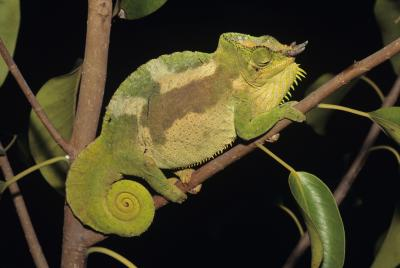 Panther chameleons lizard lizards rain forest habitat camouflage party reptile pet Madagascar pets color changing Chameleon cookie cutter