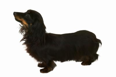 Recommended Harnesses For A Dachshund Dog Care Daily Puppy