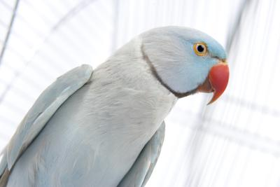 how to tell the age of a ring neck parakeet pets