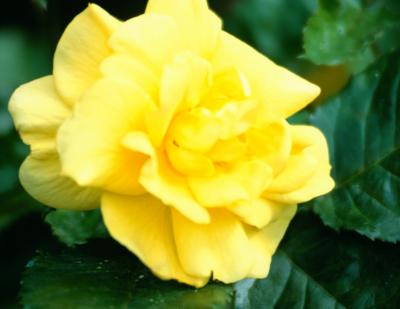 How To Prune A Floribunda Rose Bush For Blooms All Summer