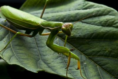 Praying Mantis Food >> What Is the Benefit of Releasing a Praying Mantis in Your Garden? | Home Guides | SF Gate