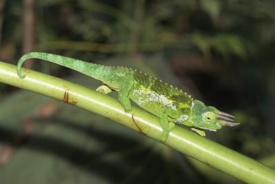 how to make a chameleon