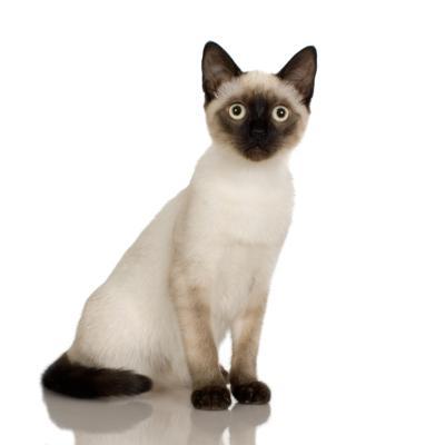 fluffy himalayan cat