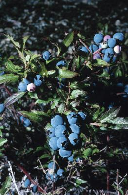 Can I Use Banana Peels As Fertilizer For Blueberry Bushes