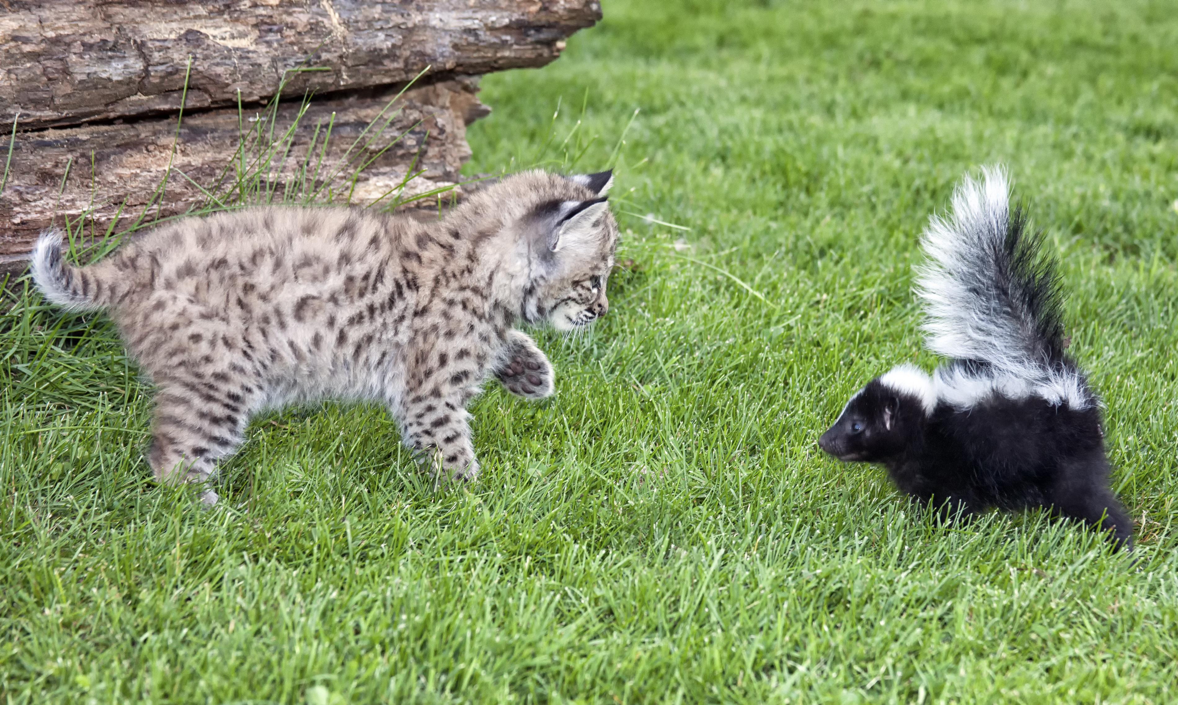 manx cats for adoption