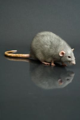 How To Know If You Have Rats In The Ceiling In An
