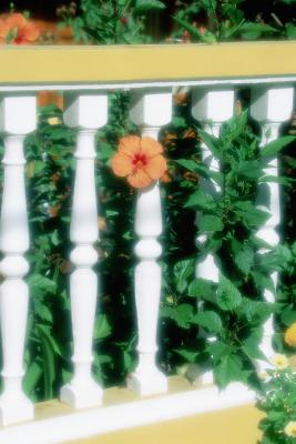 How To Trim Down A Hibiscus To A Bush Plant Home Guides