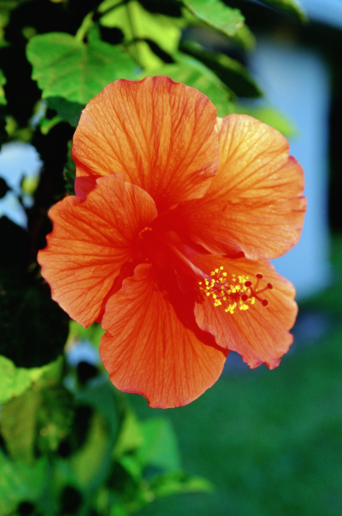Can Hibiscus Tea Be Made From Any Hibiscus Plants Livestrong