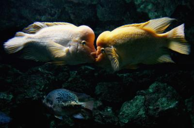 Cichlid Fish Compatibility Fish That Are Compatible With