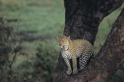 What Is the Father Leopard's Role When the Babies Are Born ...
