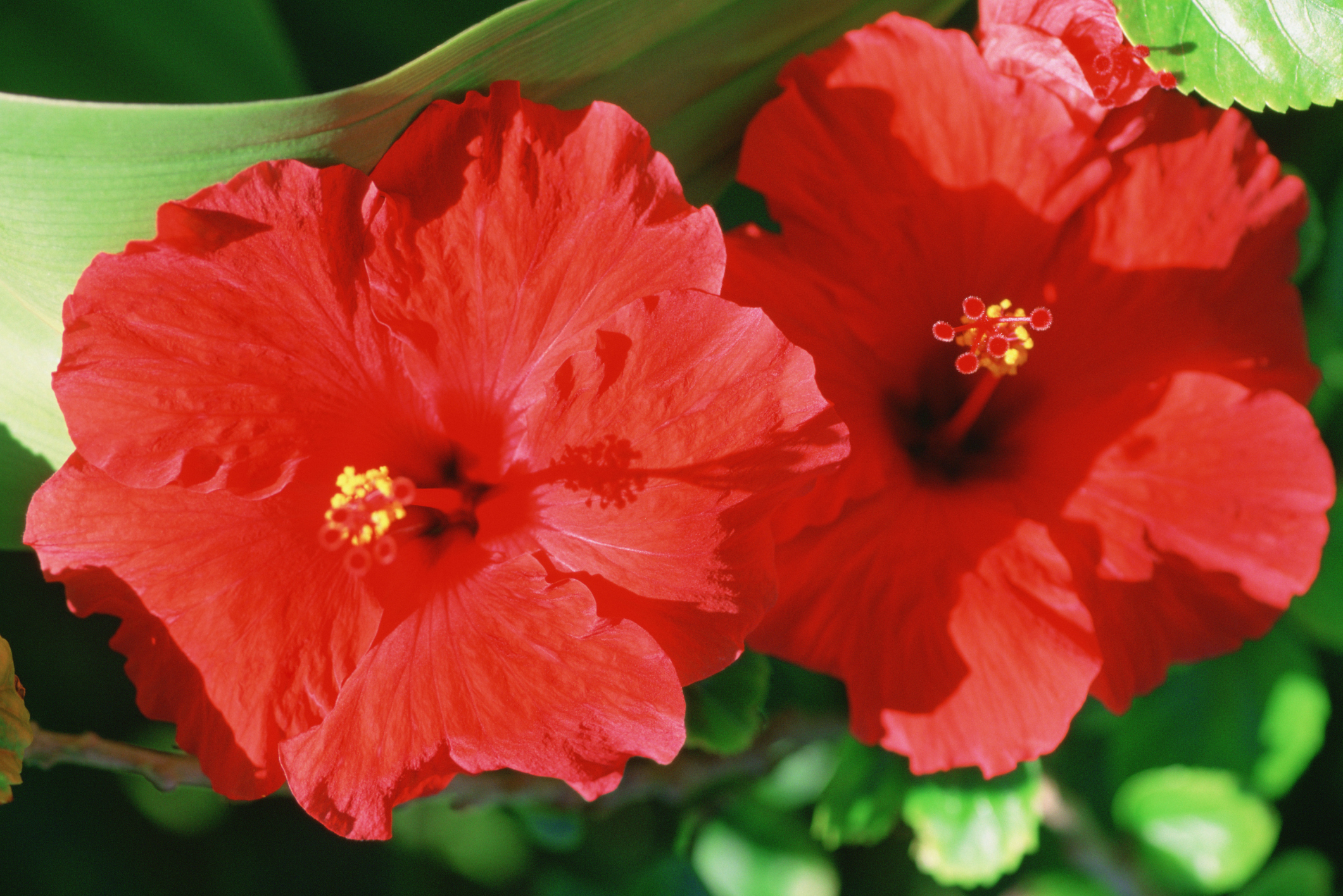 How Much Hibiscus To Lower Blood Pressure Livestrong