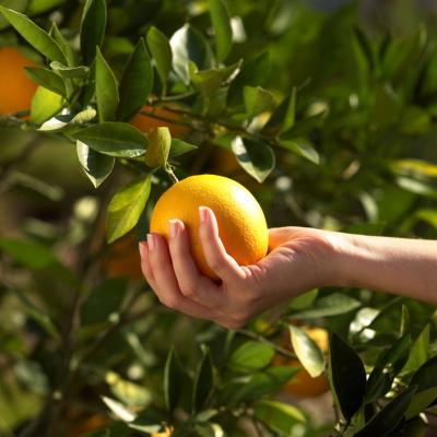 how to make a orange tree grow faster