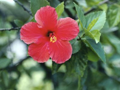 Remove leaves from hibiscus plants in early spring.