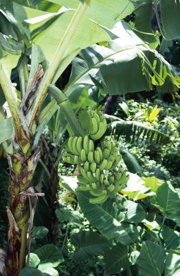 How To Grow A Banana Tree Home Guides Sf Gate