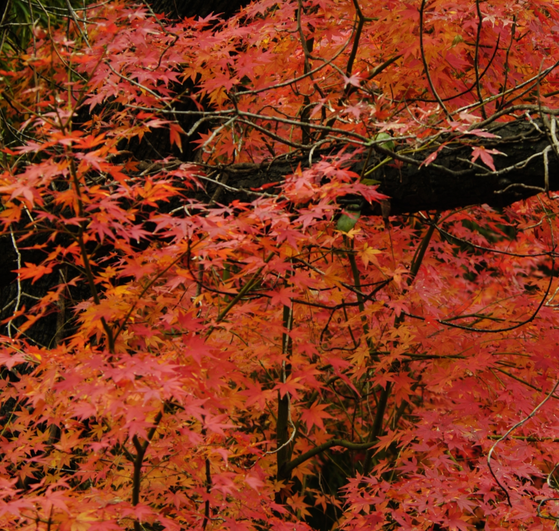 How to start a cutting from japanese maple tree home