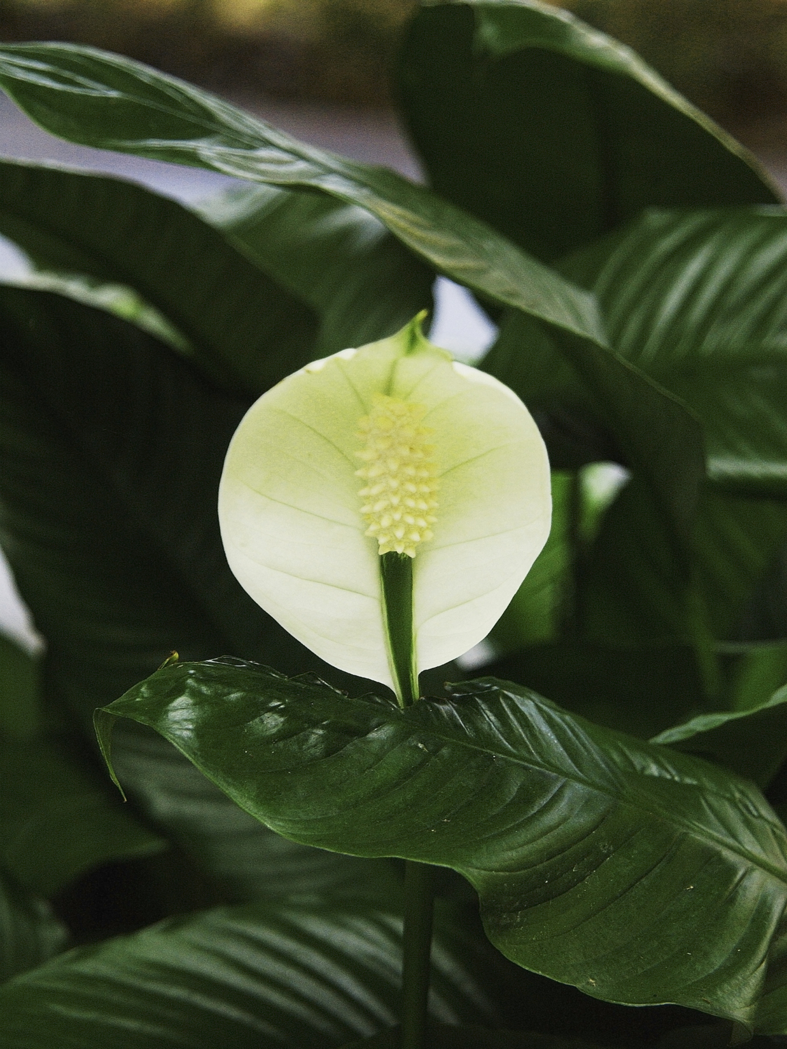 How to repot a huge peace lily home guides sf gate izmirmasajfo Choice Image