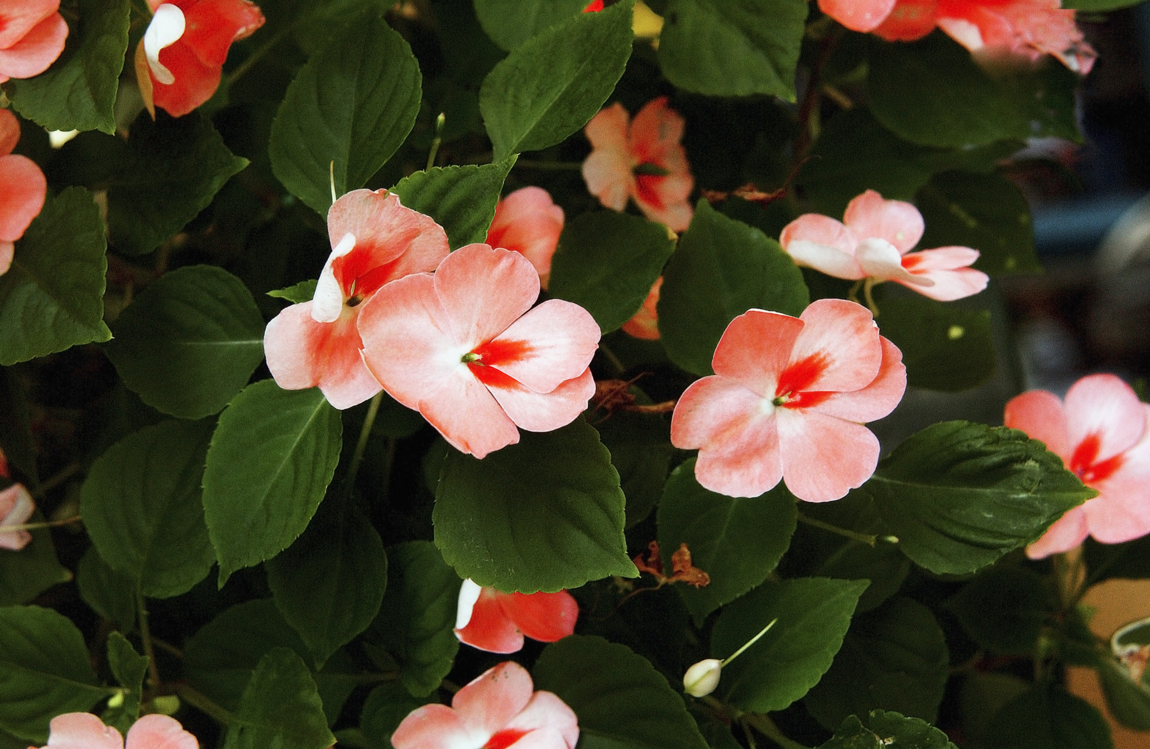 Care and watering of the impatiens plant home guides for I fiori della balsamina