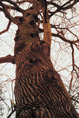 How To Stop Oak Tree Roots In Septic Lines Home Guides