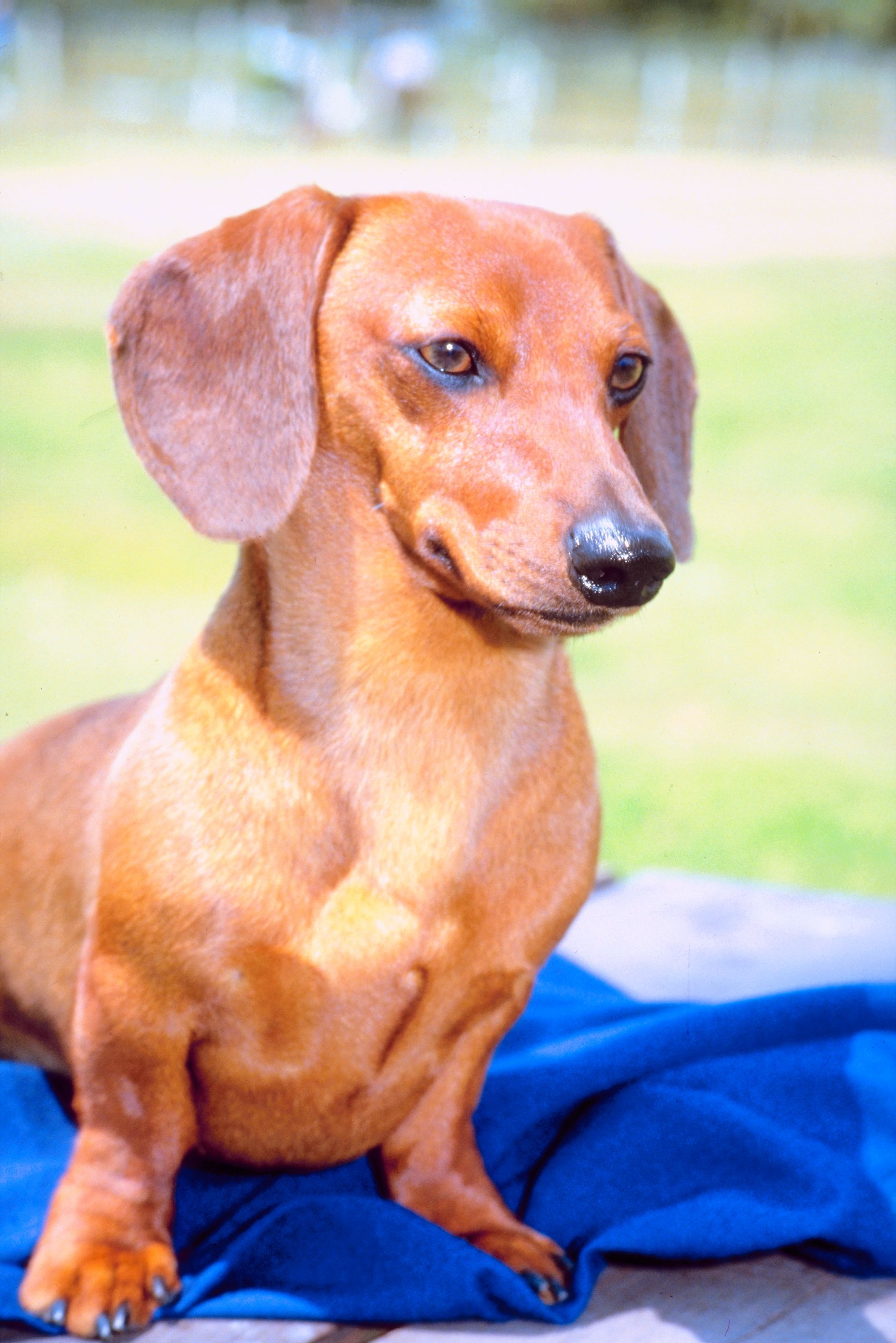 What Is the Normal Price for a Dapple Dachshund Puppy? | Cuteness