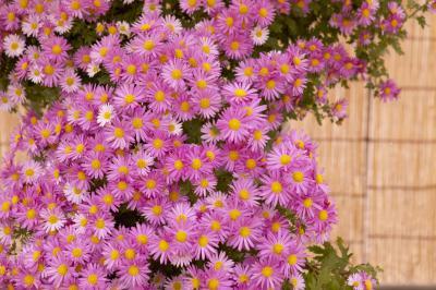 How to prune purple dome aster home guides sf gate for Plantas trepadoras de jardin