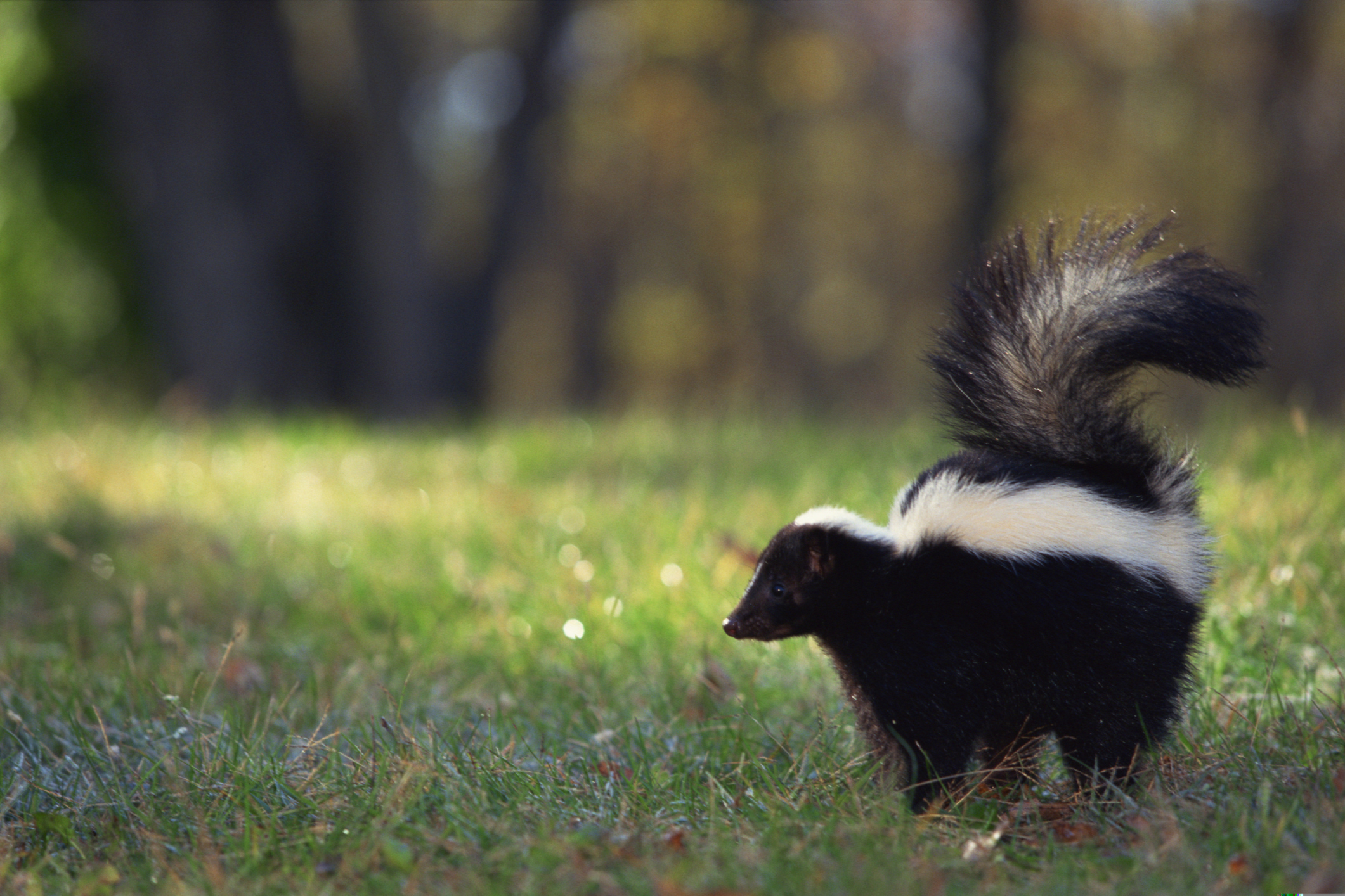 how to take skunk smell off a dog