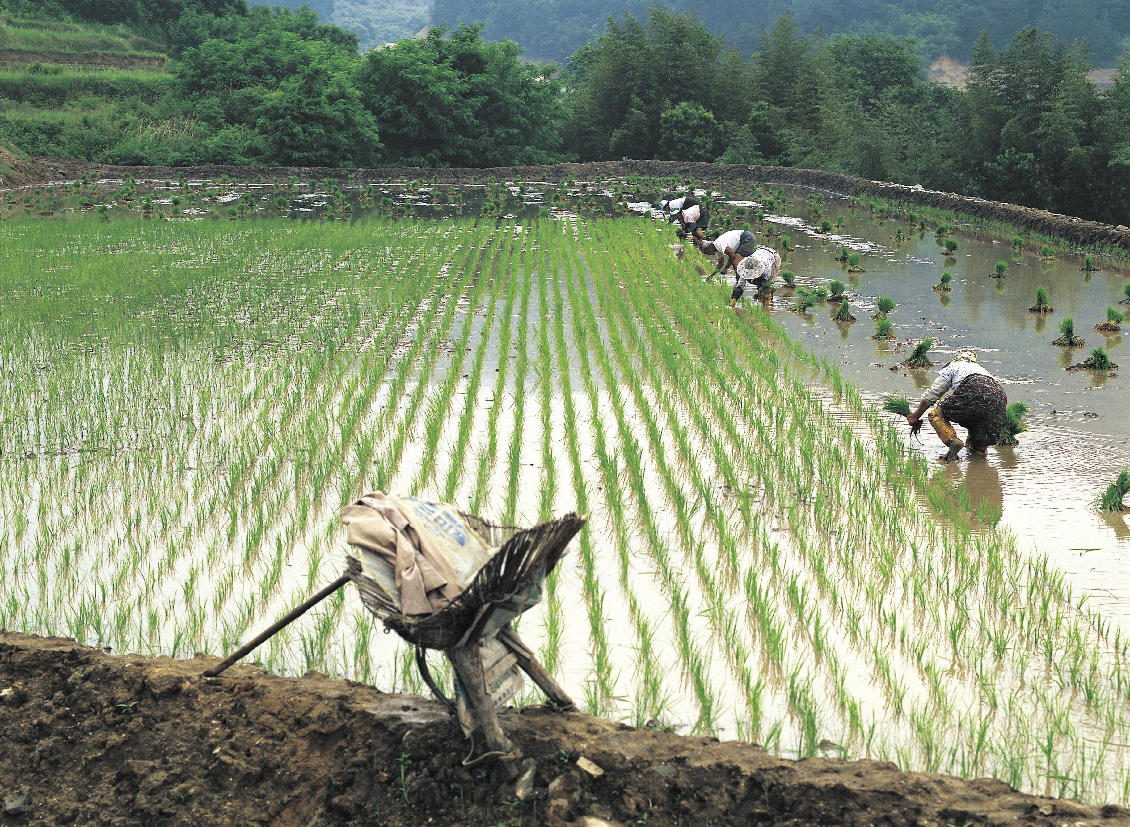 Partes de una planta de arroz |