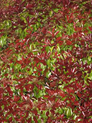How To Trim Photinia Bushes Home Guides Sf Gate