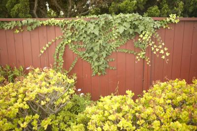 What Can You Use To Kill Vines That Grow On Your Fence