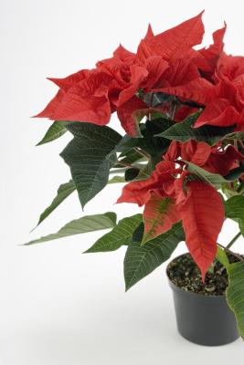 Repotting Poinsettias Home Guides Sf Gate