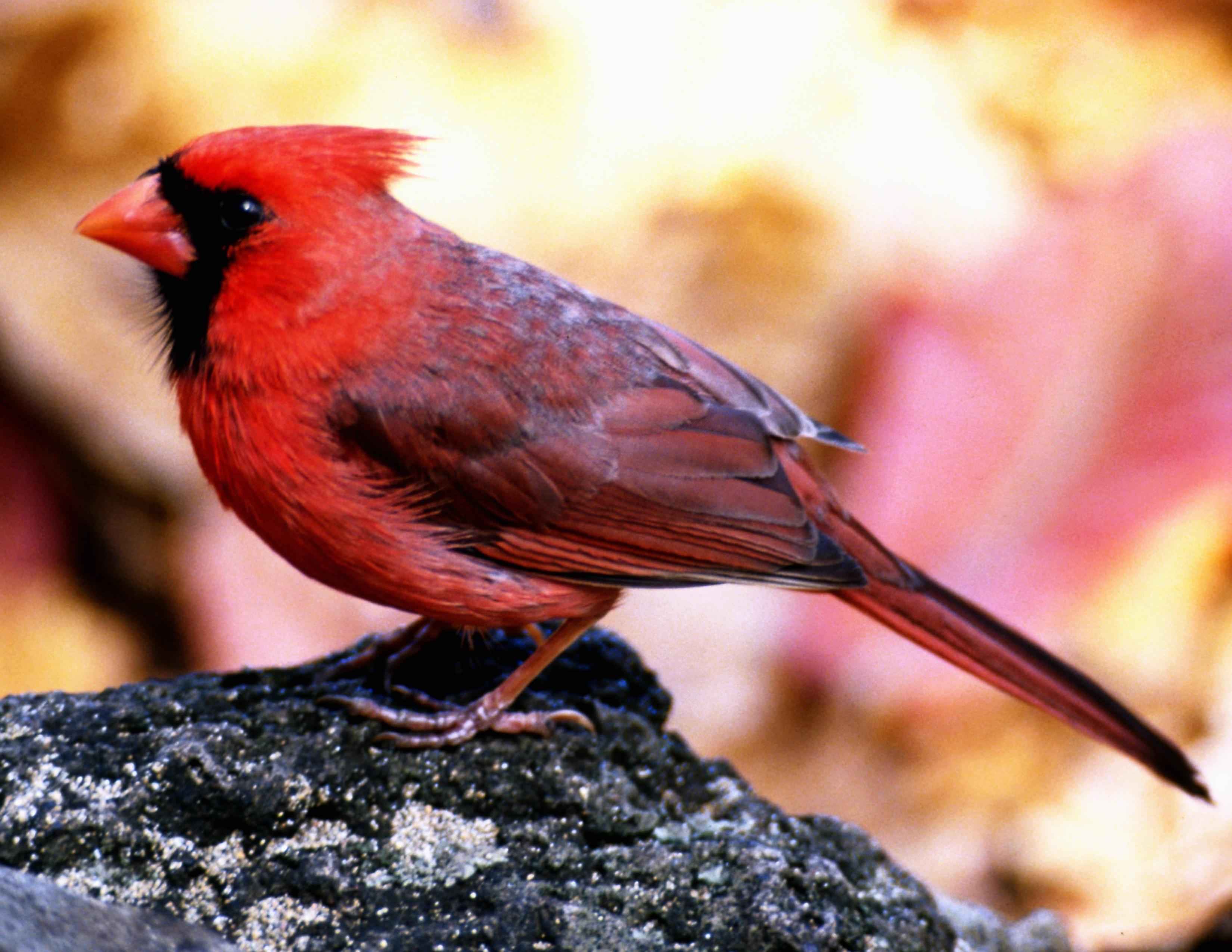 Actividades para niños sobre cardenales |
