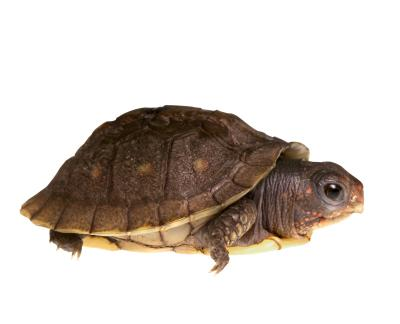 Kinds Of Turtles As Pets : Types of Pet Tortoises Types of Tortoises For Pets