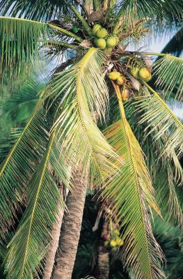 Facts On Coconut Palm Trees Home Guides Sf Gate