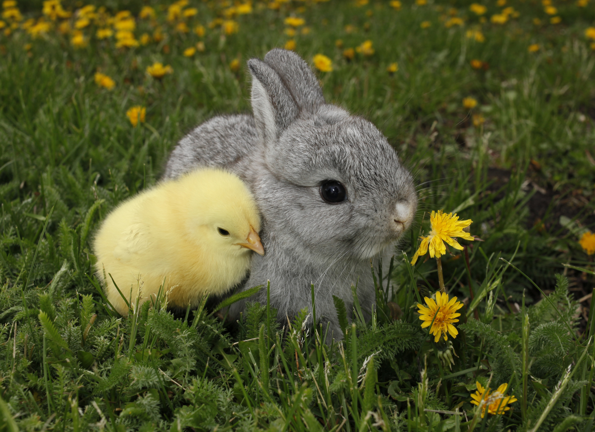 special precautions for raising rabbits and chickens together