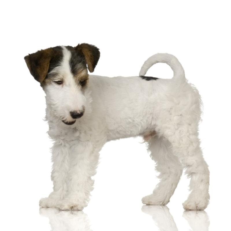 Difference Between a Rat Terrier & Fox Terrier | Dog Care - Daily Puppy