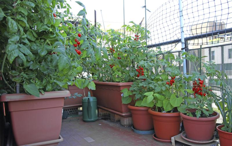 Four top tips to grow tomatoes in containers and pots home guides sf gate - Best tomato plants for container gardening ...