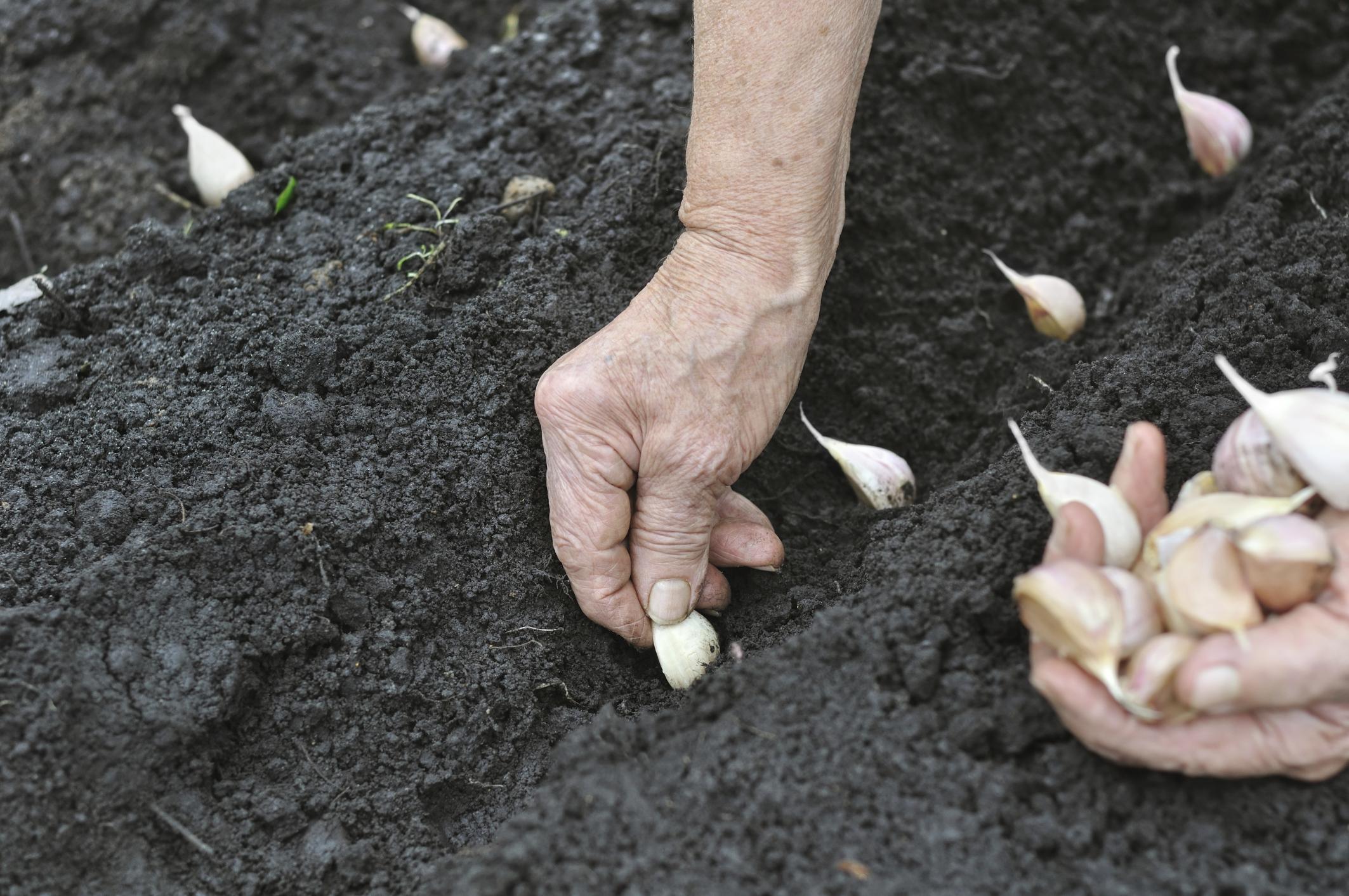 Яровой чеснок: когда сажать и как выращивать. Чеснок 93