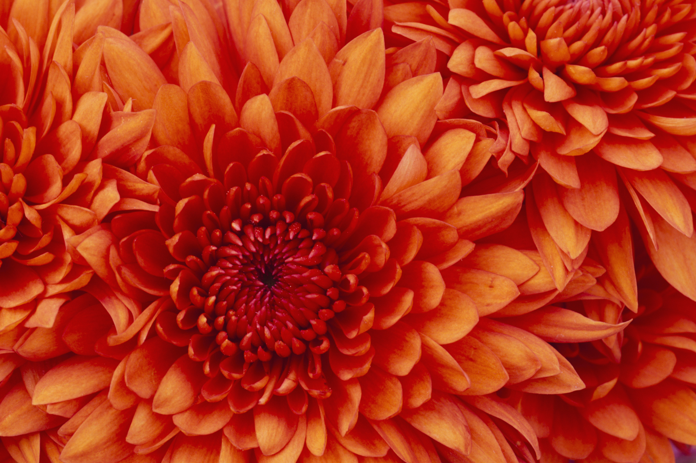 Are Mums Perennials Or Annuals Ehow