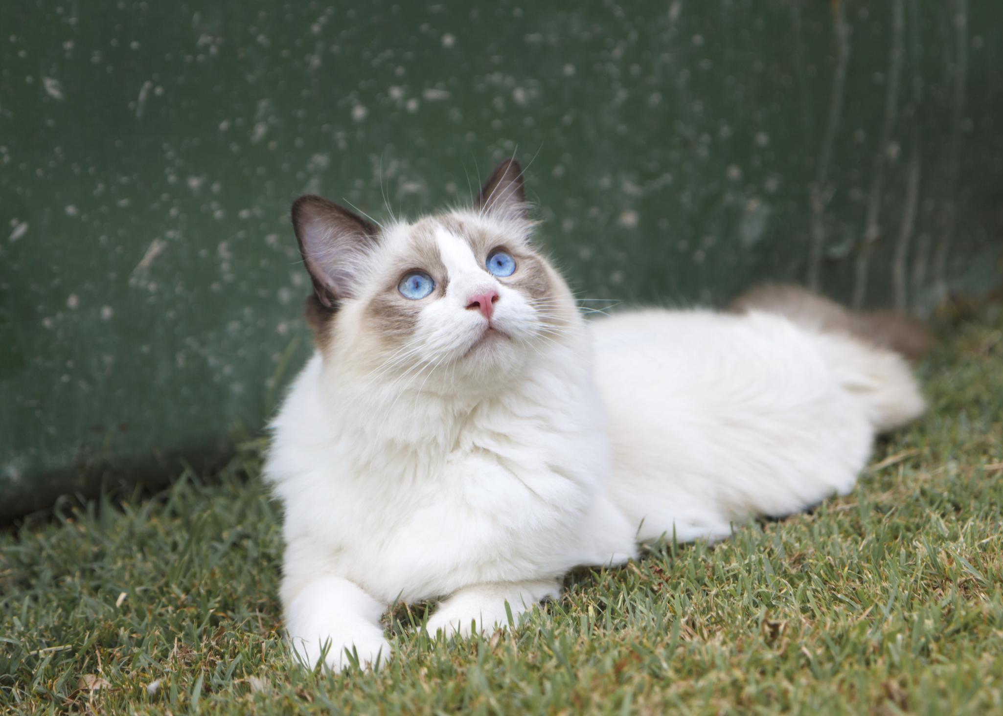 The Differences Between Ragdoll & Birman Cats | Cuteness
