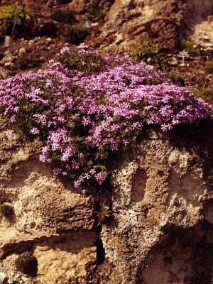 Ground Cover Plants Shade Creeping Phlox