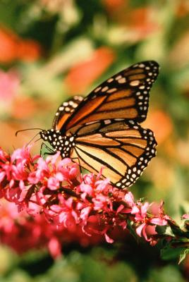 Soil Ph For Butterfly Bushes Home Guides Sf Gate