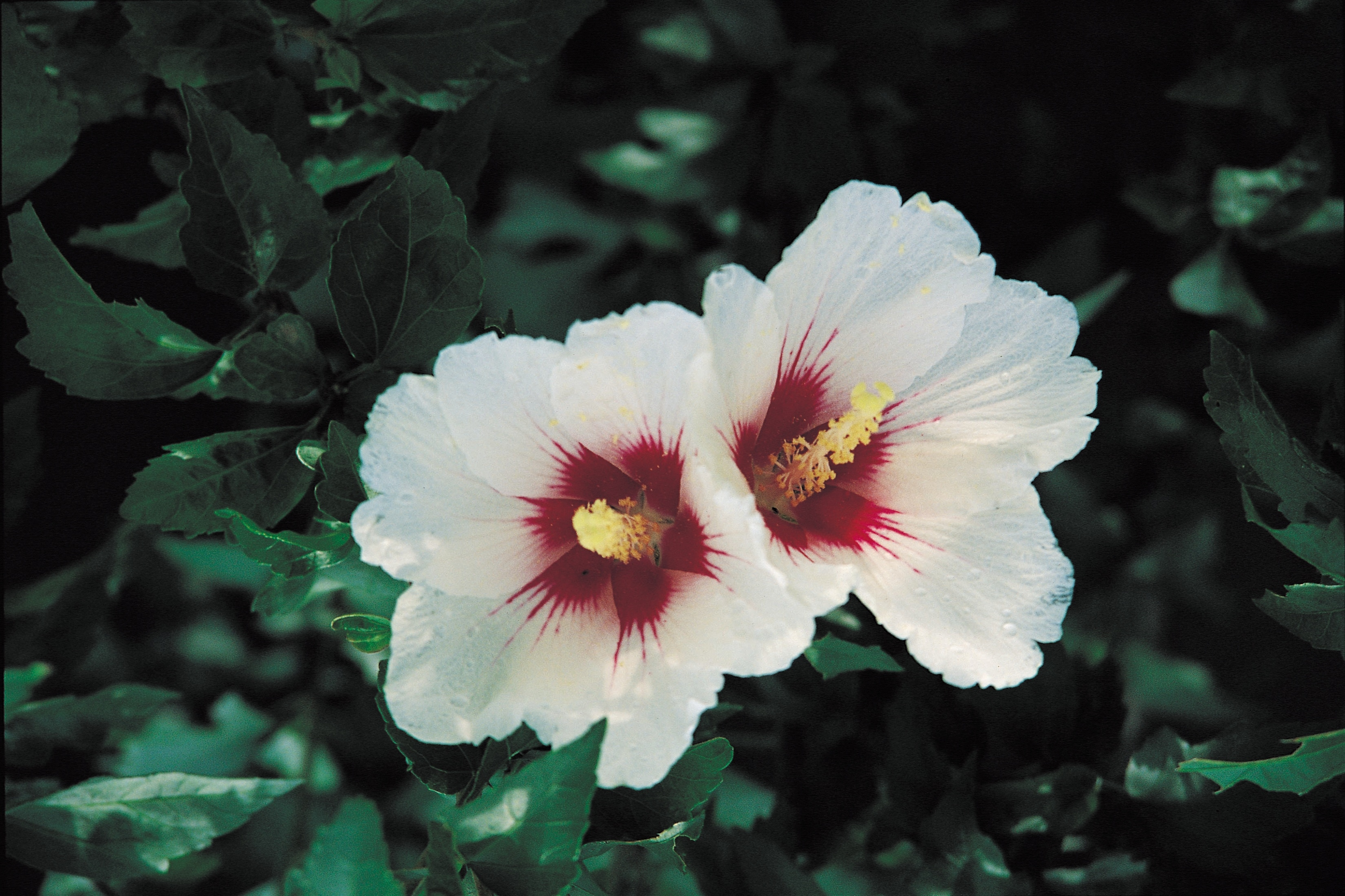 Difference between a hardy hibiscus tropical hibiscus for Hibiscus arbol