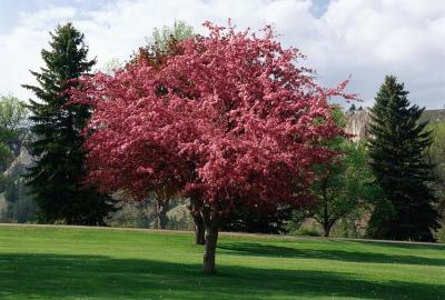 Crabapple varieties under 20 feet home guides sf gate for Small tree varieties