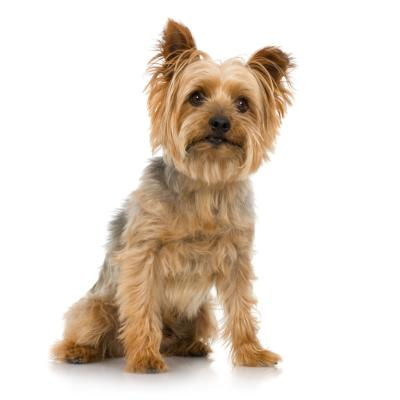 silky terrier amp yorkie differences ehow uk