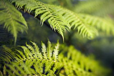 The 12,000 species of ferns grow in a wide variety of climates.