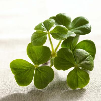 Why are there not snakes in ireland animals - Shamrock indoor plant ...